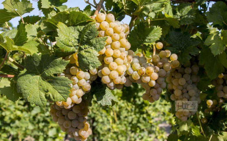 szőlő