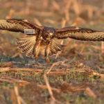 Újra repülhet a védett madár