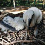 Már esznek és hangosan kelepelnek a megmentett kis gólyák