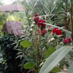 Ismét a Virágszínvonalasabb Szentesért