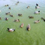 Megfigyelési körzeti zárlat madárinfluenza miatt