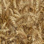 48 őszi búzát teszteltek az idei