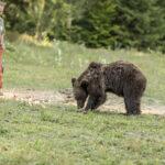 A szentesi medvepásztor mindennapjai