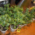 Termesztette és árulta is a marihuánát