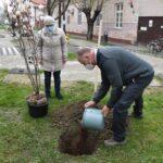 Huszonöt magnólia fát ültetnek Szentesen